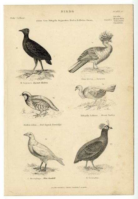 1864 BIRDS Freycinet Curassow Partridge rush Turkey Sheathbill PRINT (20)